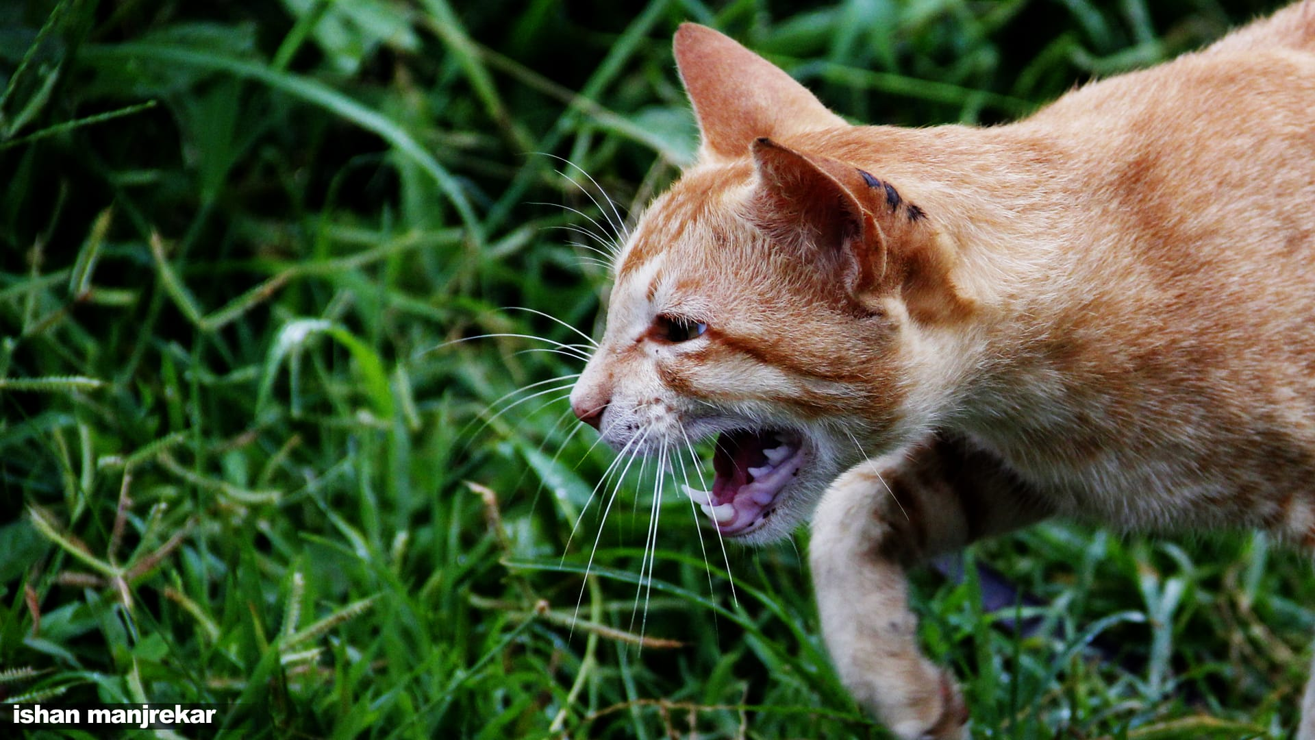 cats hiss when they are upset or see danger