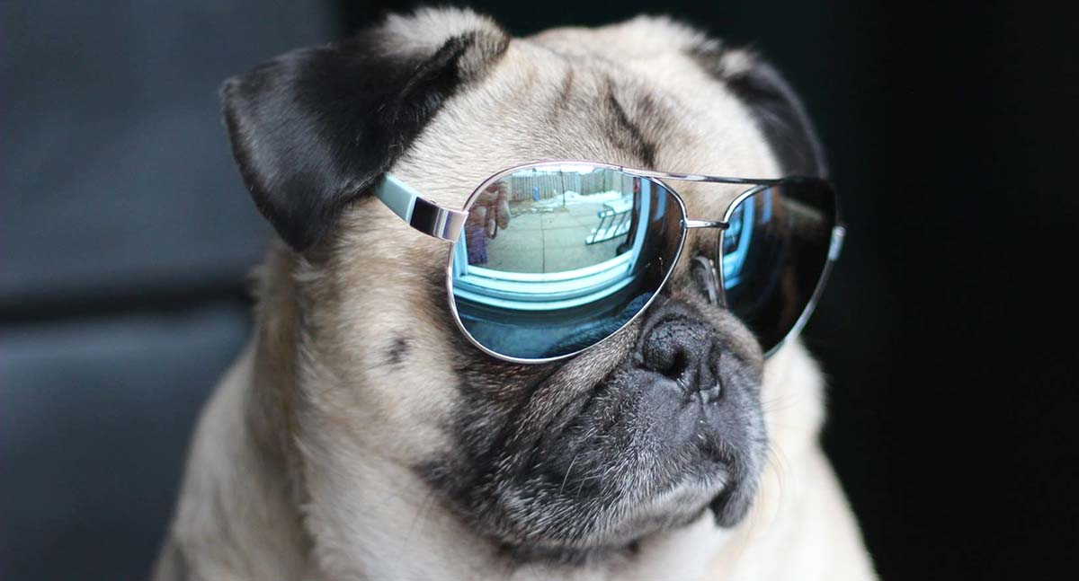 19 Reasons Why Atom the Pug is a Canine Action Star