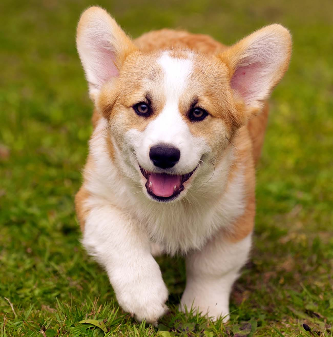 What should you name your new corgi dog