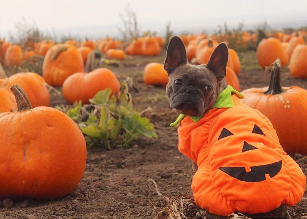 22 Pets With Amazing Halloween Costumes