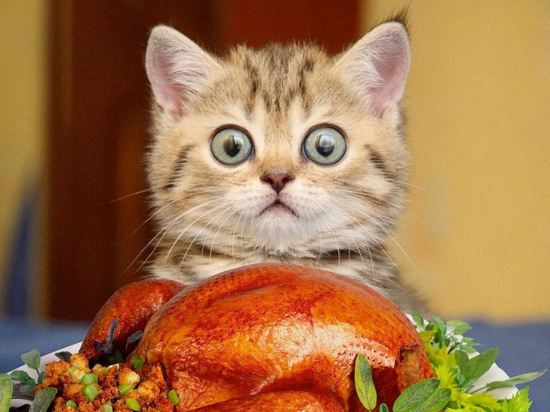 Photo of cat staring at the roasted turkey