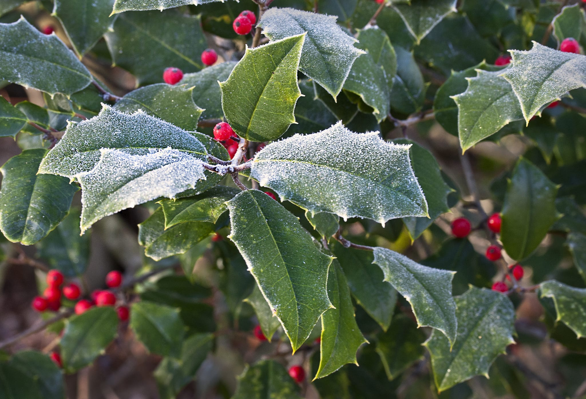 Image of the Holly plant