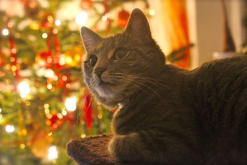 Image of a cat beside the Christmas tree