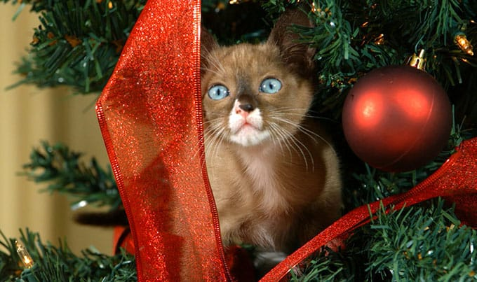 Photo of a cat in a Christmas tree again