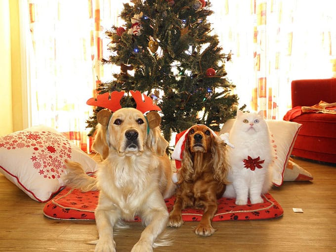 Image of 2 dogs and a cat in front of a Christmas tree