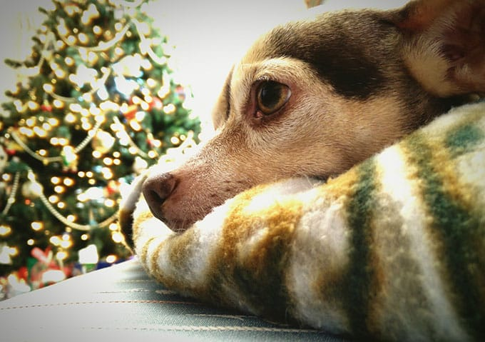 Image of a dog behaving beside a Christmas tree