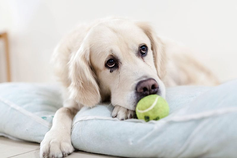 Photo of a cute old dog biting a tennis ball