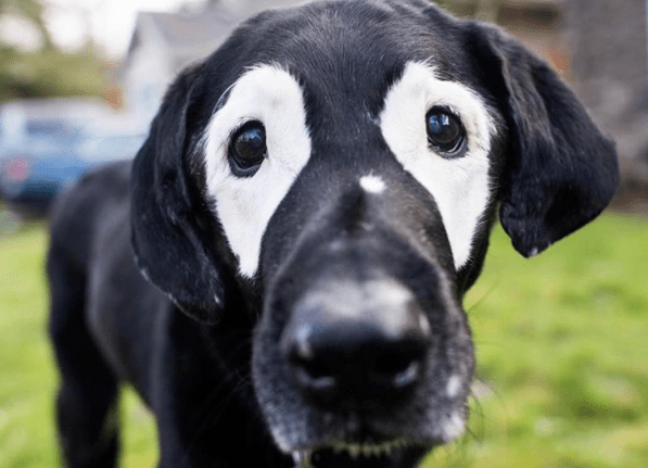 Find Out Why This Black Lab Suddenly Turned White