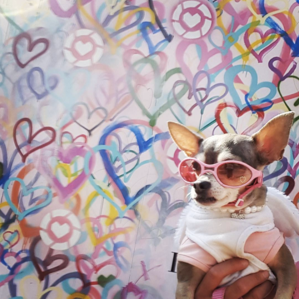Life Is Better With Chihuahua