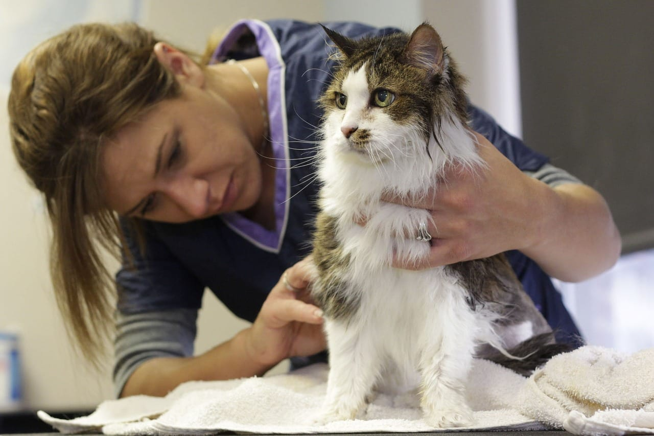 A cat being checked by a vet