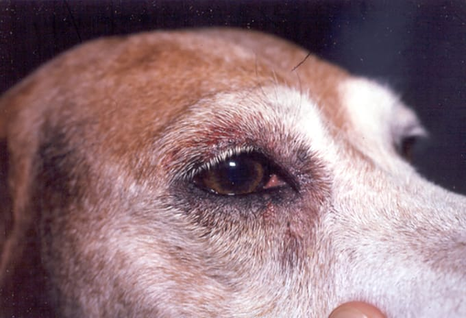Dog Has Itchy Eyes And Paws