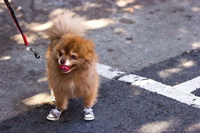 Dog wearing doggy boots