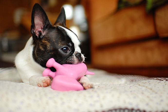 Boston terrier with a chew toy