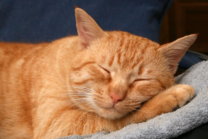 Red cat sleeping