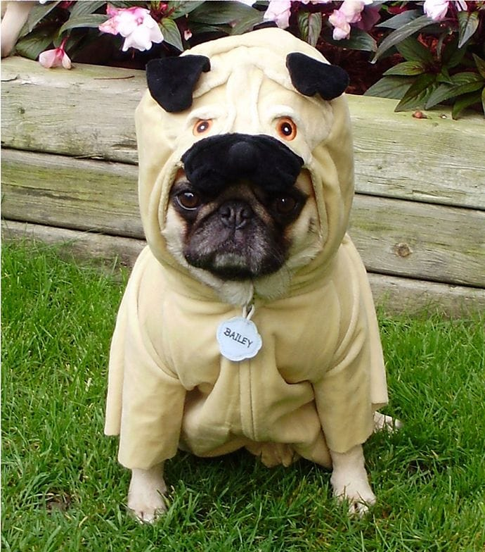 Pug wearing a funny costume