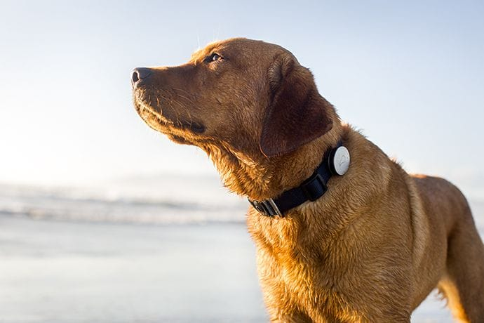 Dog wearing a Whistle tracker