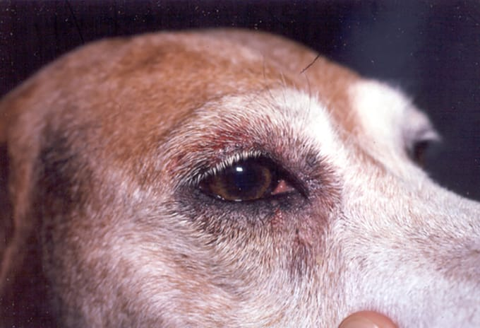 Watery Itchy Eyes In Dogs