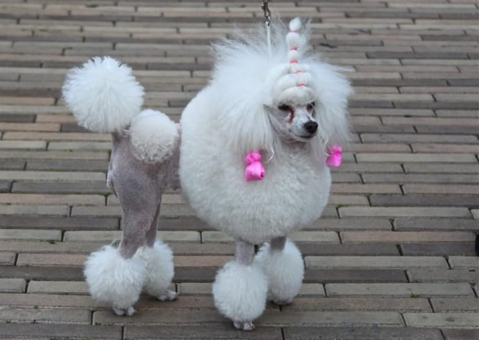 Marie Antoinette dog hairstyle