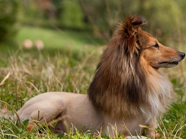 Lioness dog haircut