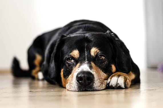 Symptoms of Separation Anxiety in Dogs and How to Treat It