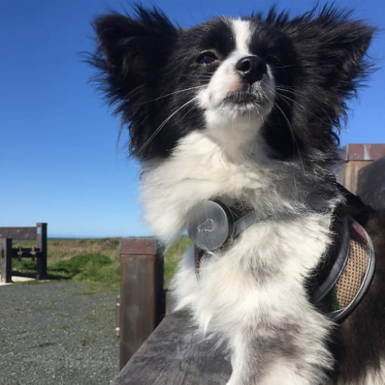 dog with whistle collar