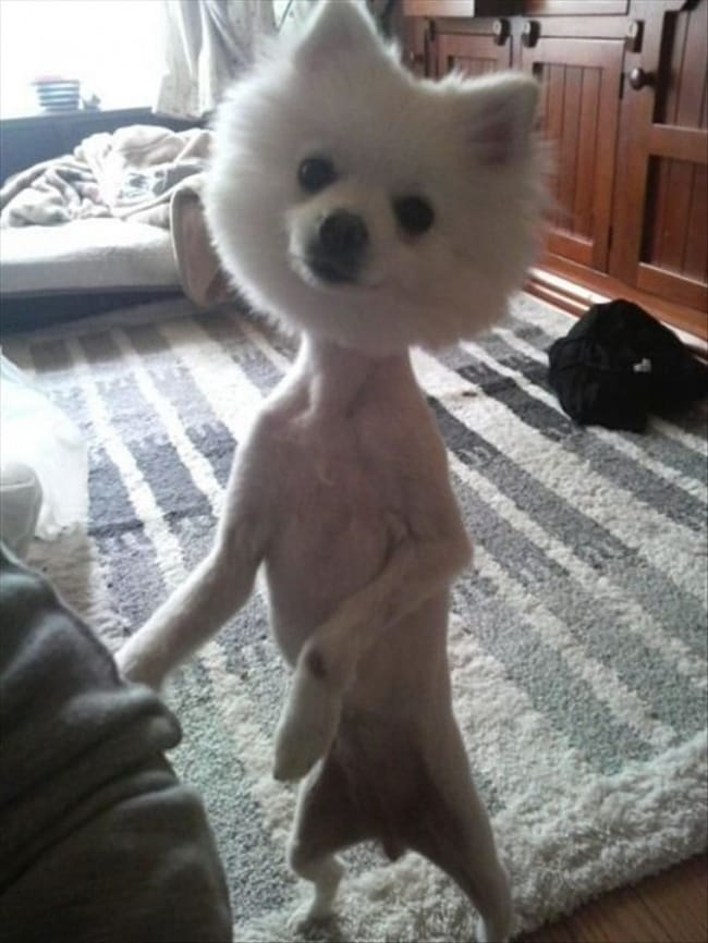 23 Hilariously Awful Dog Haircuts