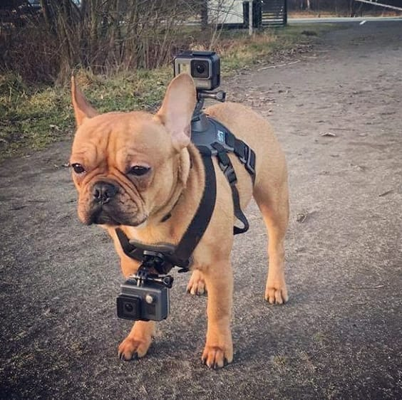 dog with a go pro