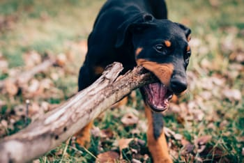 Dog Chewing Everything Here Is How To Stop Them
