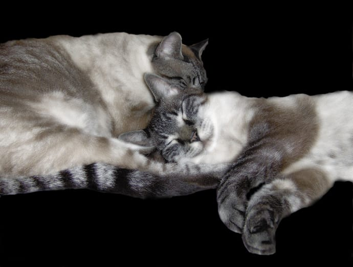 why you should adopt two cats at the same time