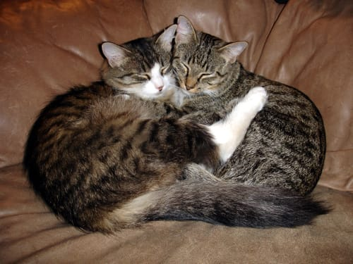 Why You Should Adopt Two Cats At Once