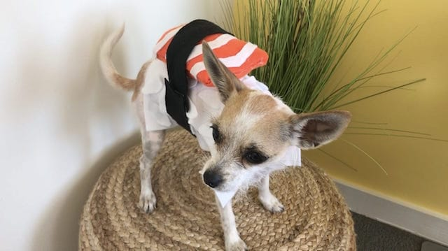 How to Make An Easy DIY Dog Sushi Costume For Halloween