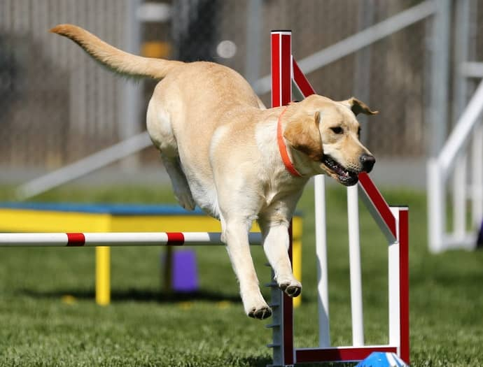 Dog Jumps Over The Obstacles