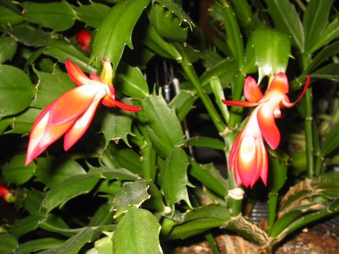 image of the christmas cactus plant - Are Christmas Cactus Poisonous To Dogs