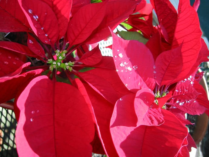 Image of the Poinsettia plant