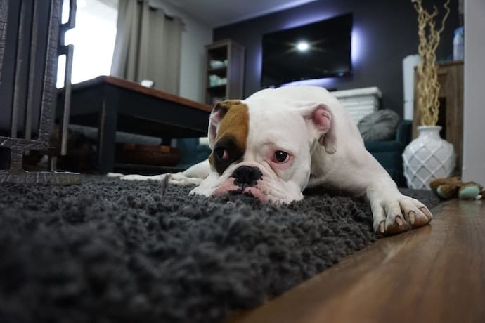 Dog lying on a carpet