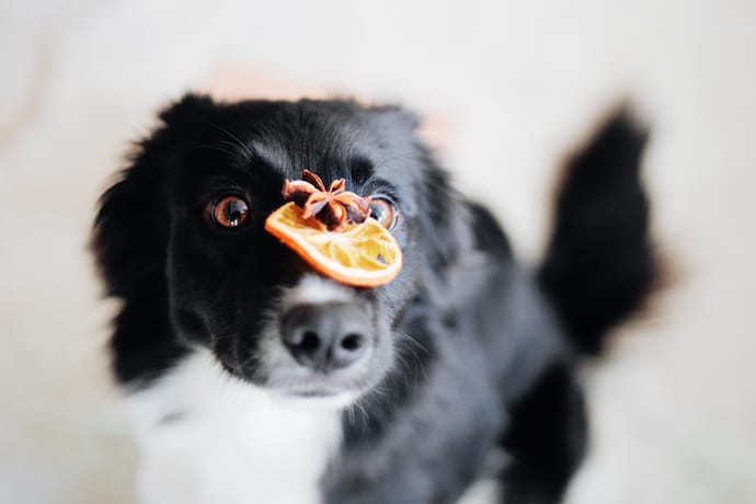 Dog With A Cinnamon And Orange Over His Nose
