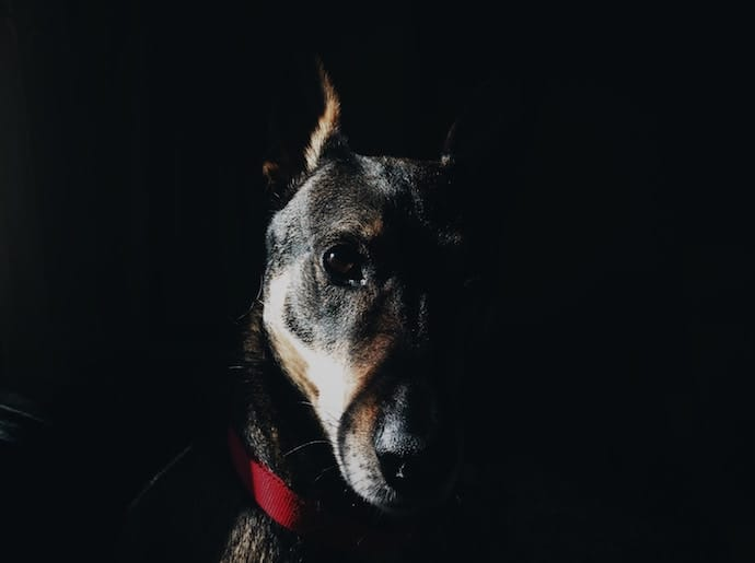 German Shepherd anxiety