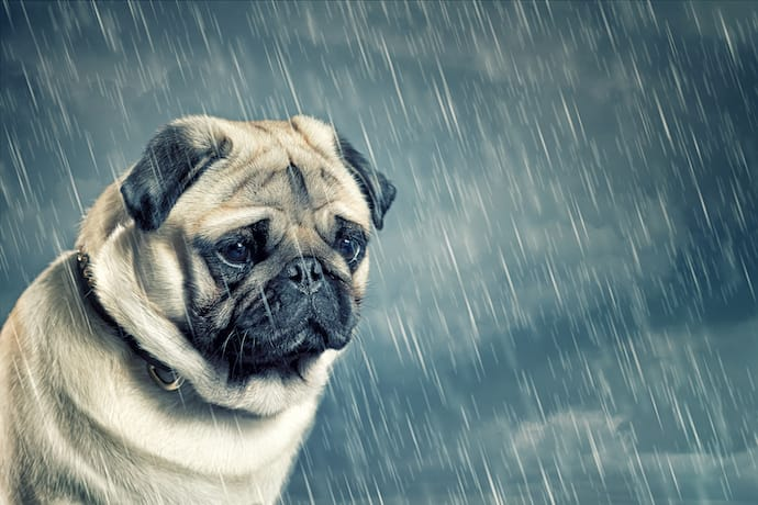 Separation Anxiety pug