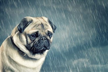Dog Breeds That Suffer From Anxiety And Depression