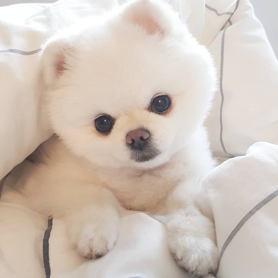 Pomeranian cute haircut