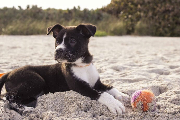 Puppy playing ball at the beach