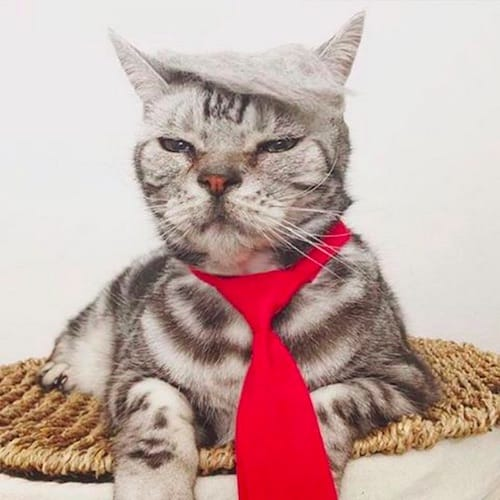cat with Trump hair 6