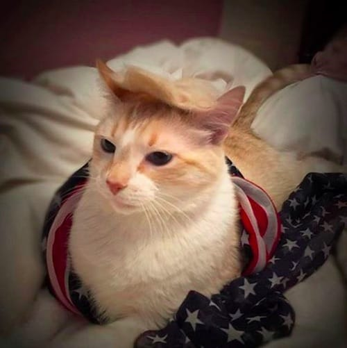 cat with Trump hair 7