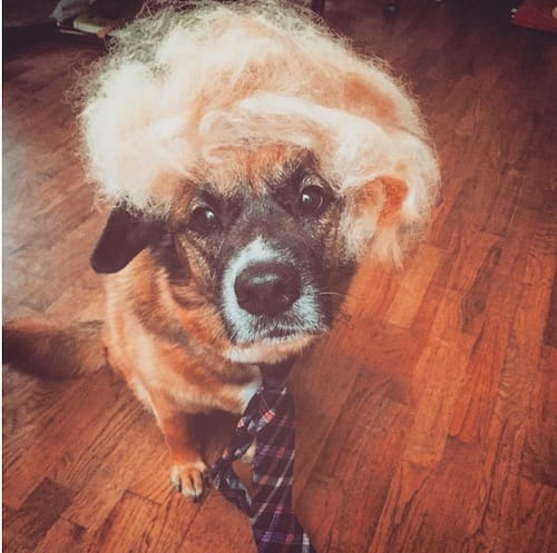 dog with Trump hair 9