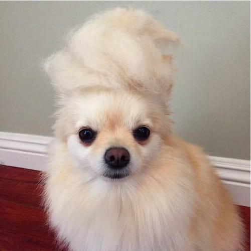 dog with Trump hair 10