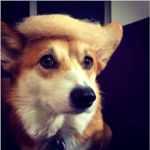 dog with Trump hair 11