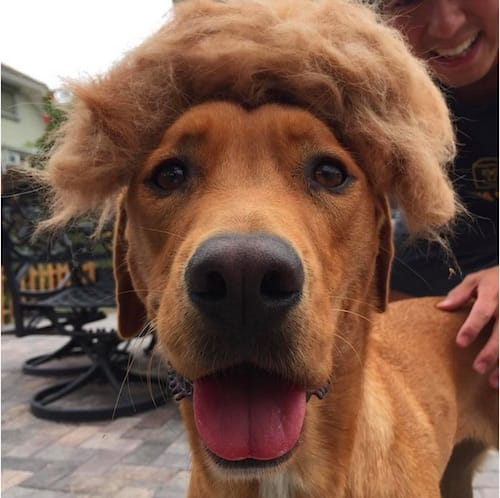 dog with Trump hair 12