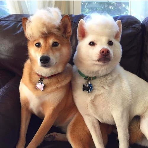 dog with Trump hair 13