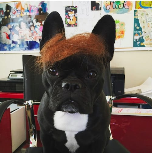 dog with Trump hair 14