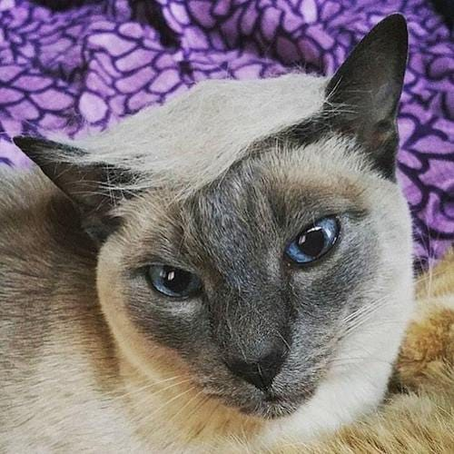 cat with Trump hair 3